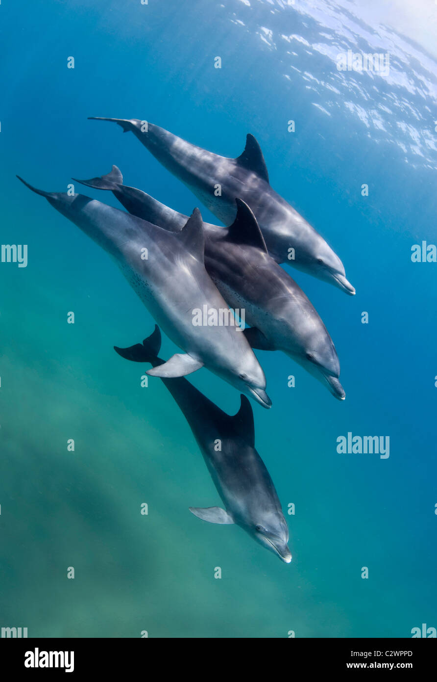 Bottle nose dolphins, Sodwana Bay, South Africa, Indian Ocean - Stock Image