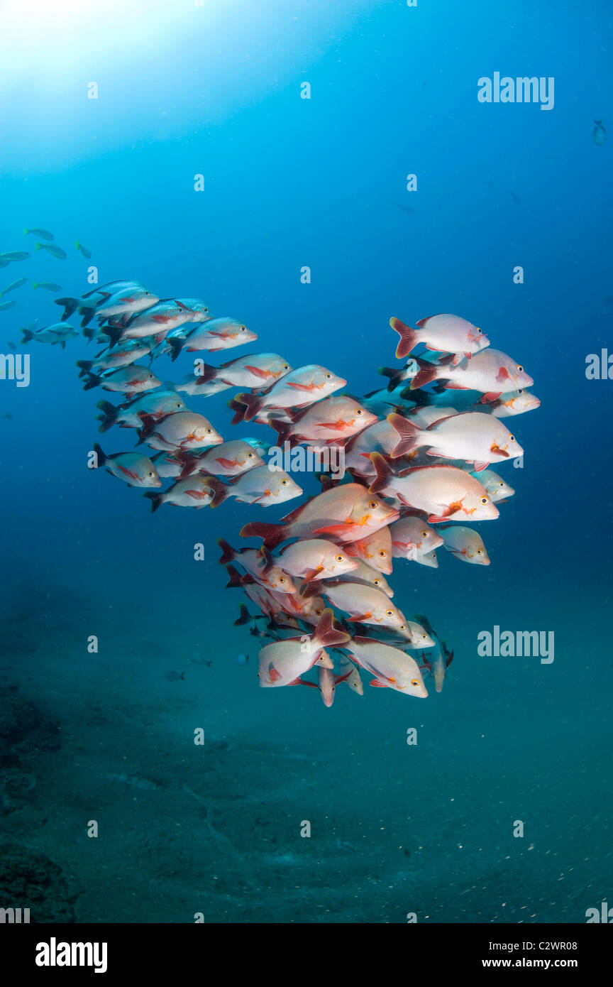 Humpback Snapper, Lutjanus gibbus, Sodwana Bay, South Africa - Stock Image