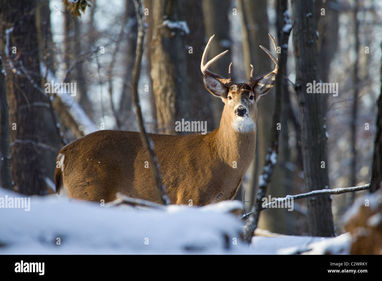 8 Point Buck Stock Photos 8 Point Buck Stock Images Alamy