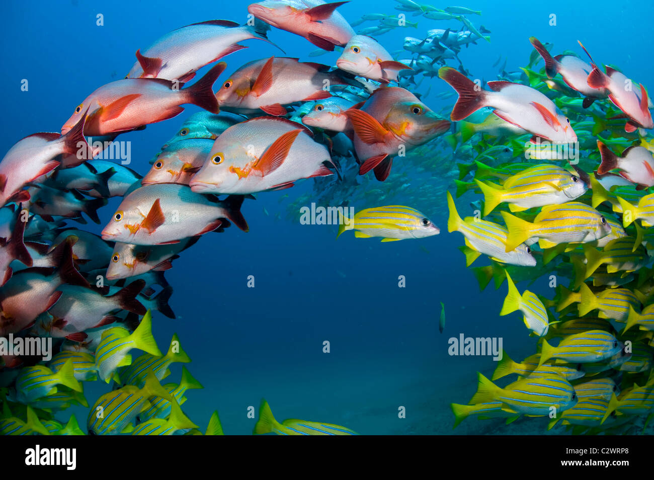 Schooling Bluestripe Snappers, Lutjanus kasmira and Humpback Snapper, Lutjanus gibbus, Sodwana Bay, South Africa - Stock Image