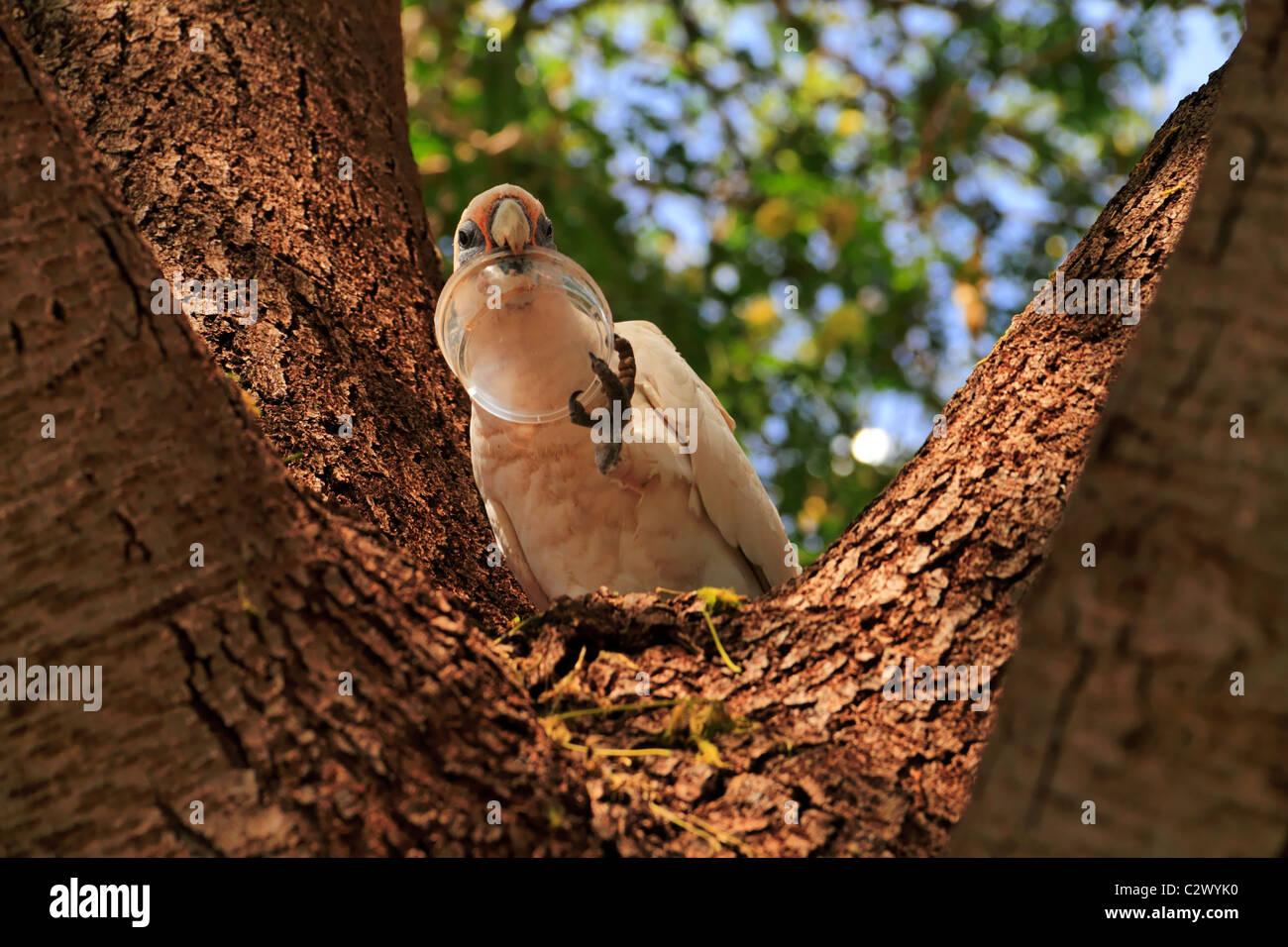 Little Corella Cockatoo ( Cacatua pastinator ) in a tree with plastic container in its beak, Pilbara, Northwest - Stock Image
