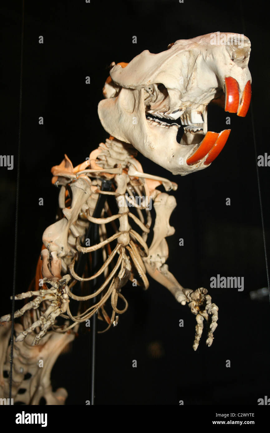 Beaver Skeleton Castor canadensis Stock Photo: 36220702 - Alamy