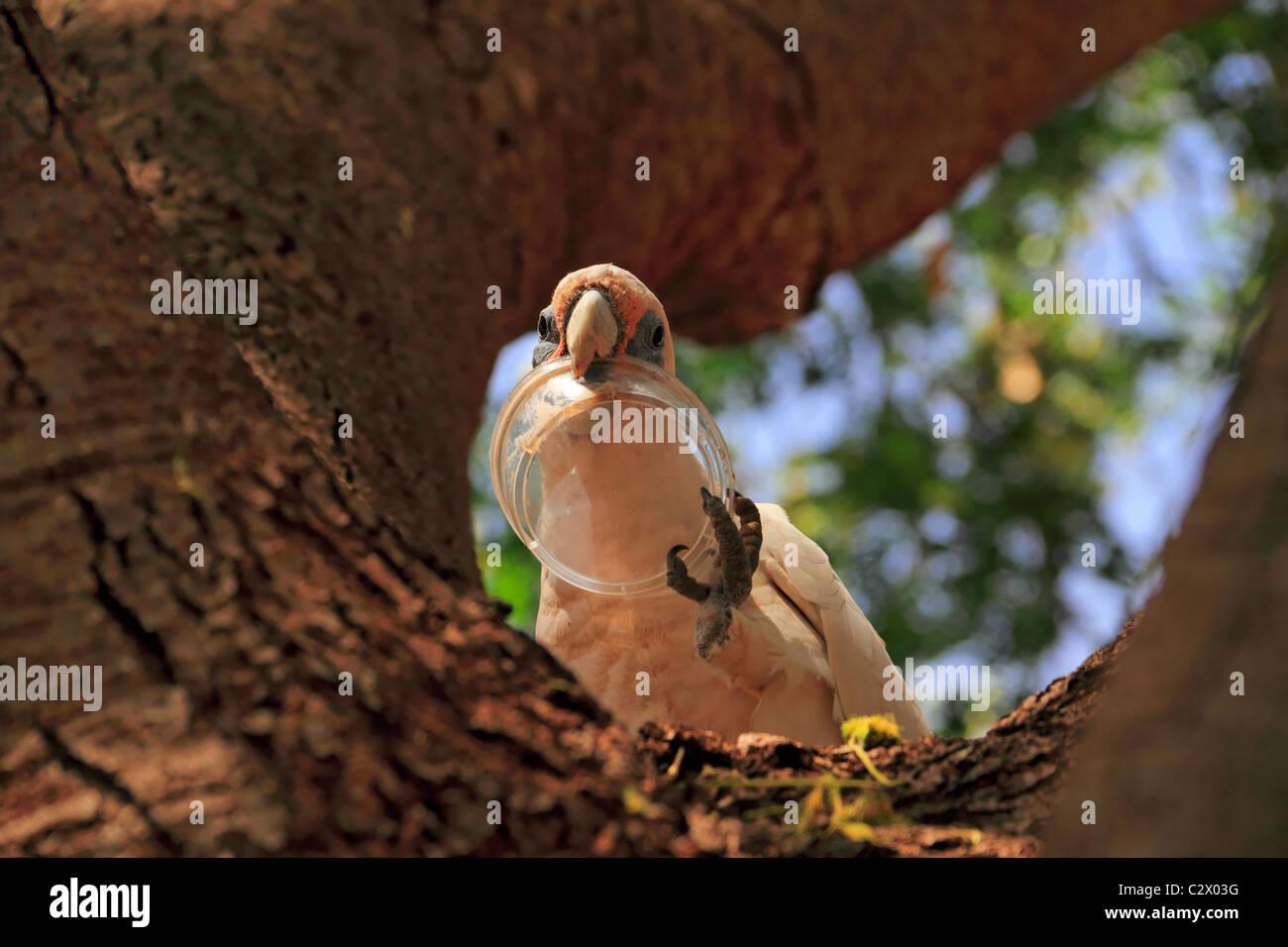 Little Corella Cockatoo ( Cacatua pastinator ) in a tree with plastic container in beak, Pilbara, Northwest Australia - Stock Image