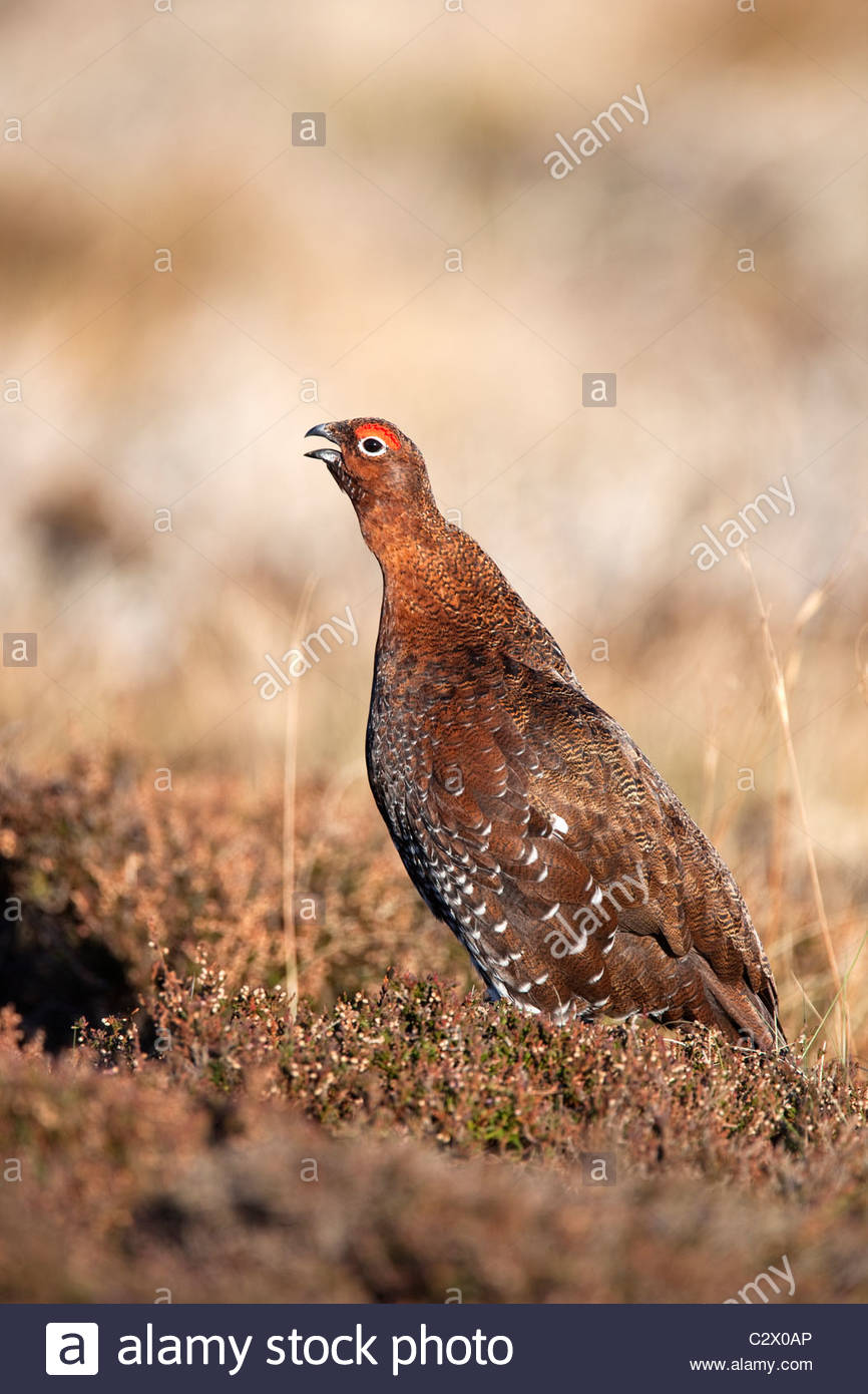 Red grouse, Lagopus lagopus, male, calling in heather, County Durham, UK - Stock Image