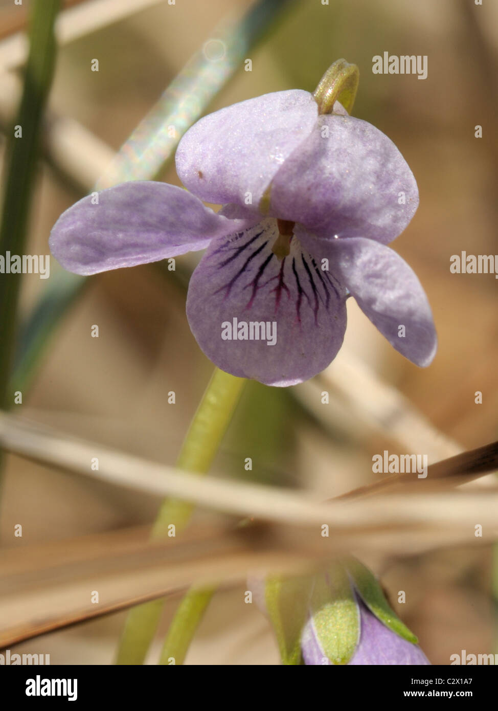 Marsh Violet, viola palustris - Stock Image