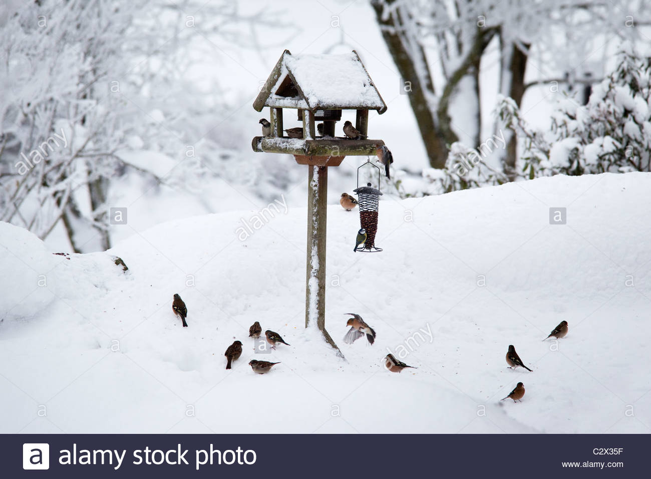 Chaffinches, Fringilla coelebs round bird feeders in snow, UK - Stock Image