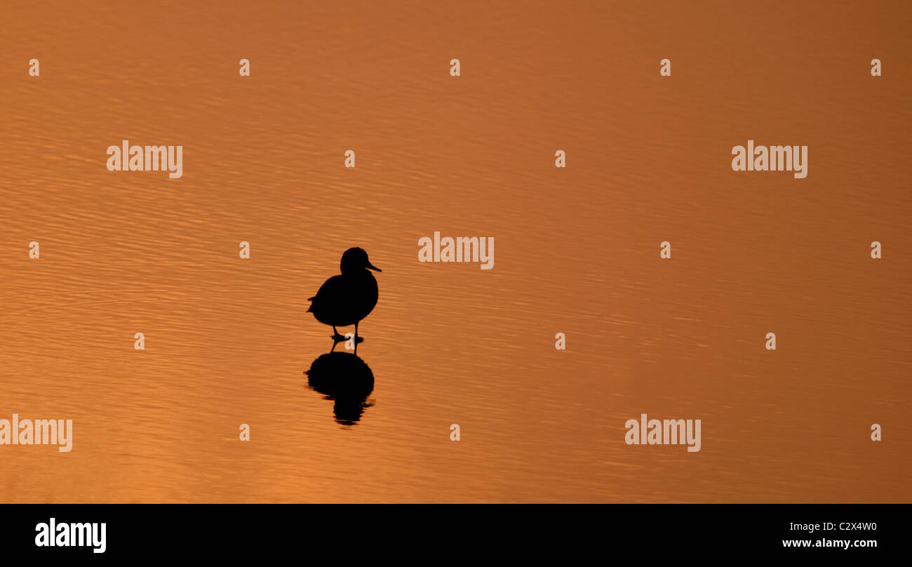 Silhouette of a solitary duck at Sunset on a tranquil Warwickshire lake - Stock Image