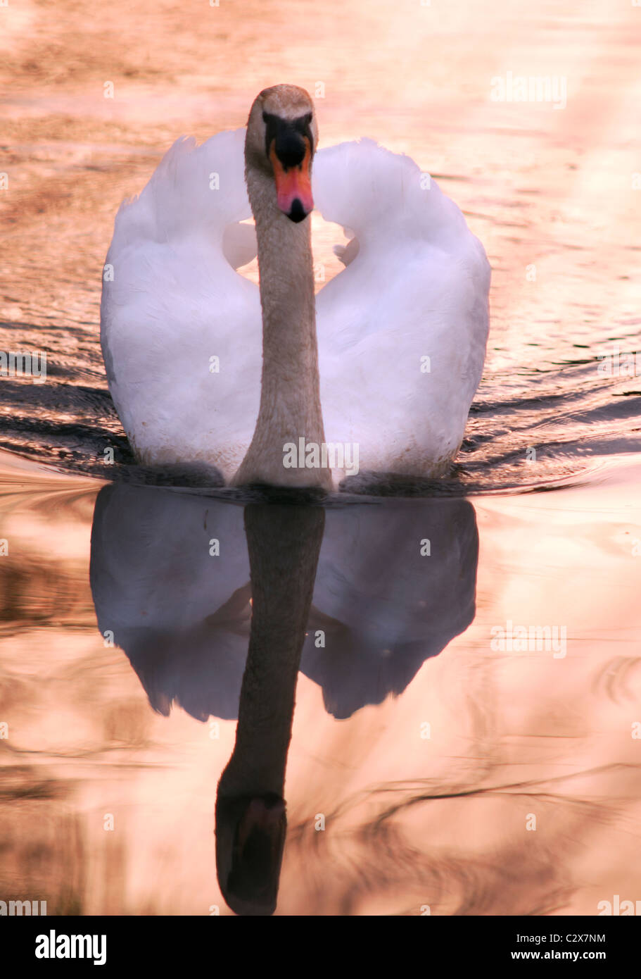 Single Mute Swan on a tranquil River Avon in Warwickshire at Sunset - Stock Image
