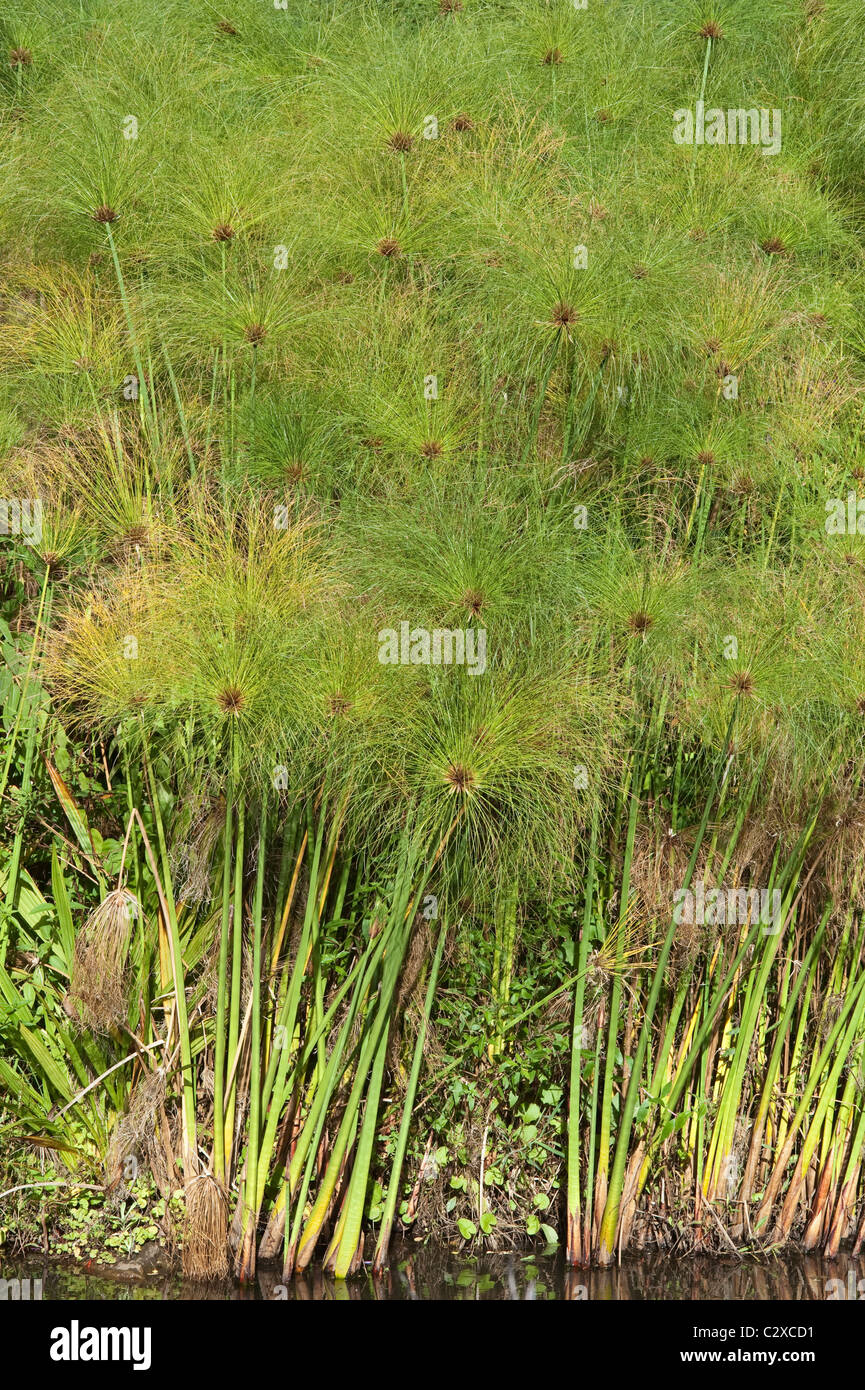Papyrus, the bulrush of the Bible (Cyperus papyrus) Kirstenbosch National Botanical Garden Cape Town Western Cape - Stock Image