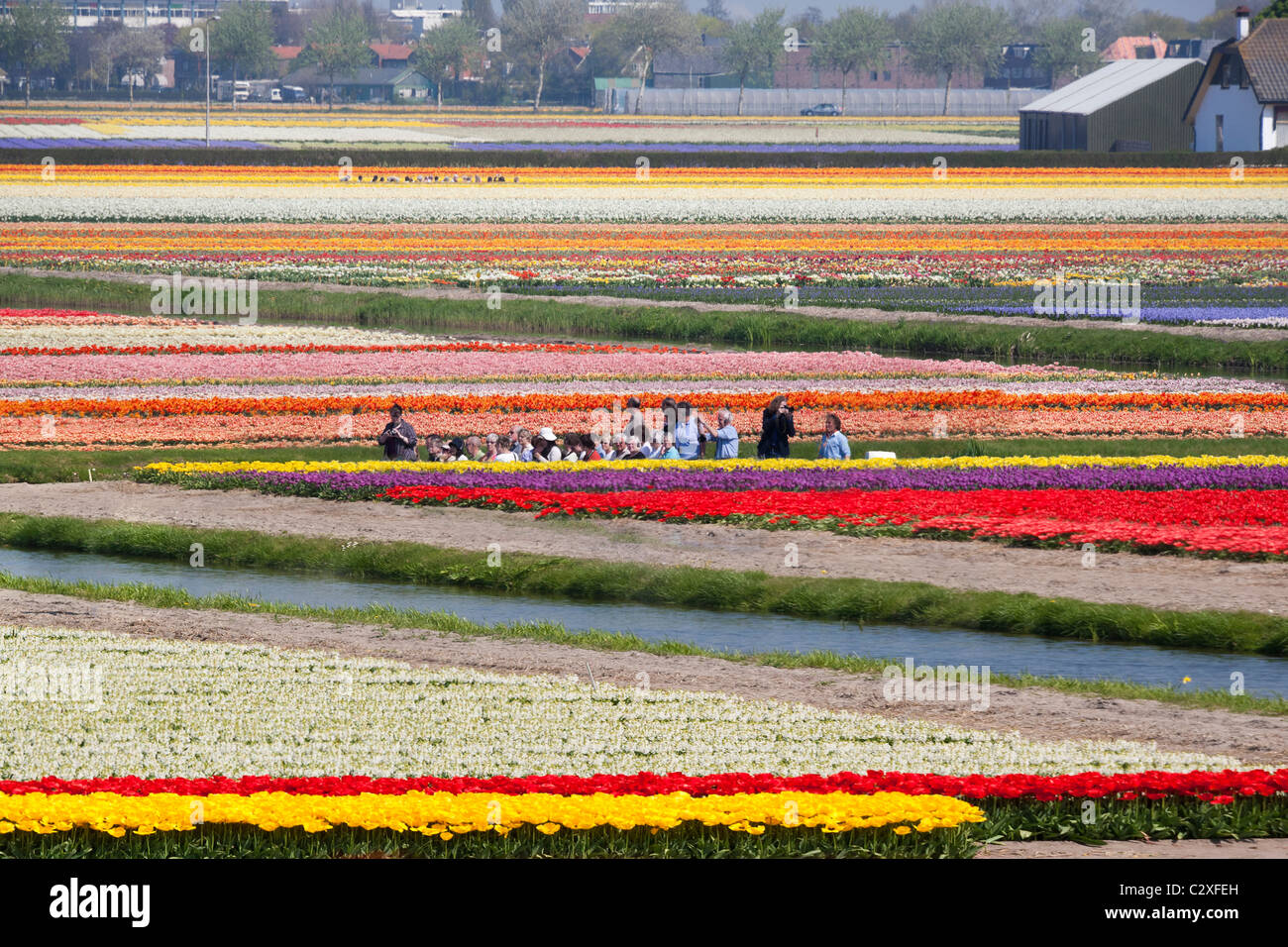 Keukenhof Flower Garden in Lisse, Holland. Visitors taking a trip through the flowering tulip fields by electric - Stock Image
