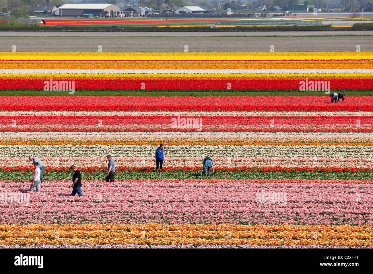 Farm workers working, weeding by hand, in Dutch tulip fields near Lisse, Dutch Dune and Bulb Region, Holland, The - Stock Image