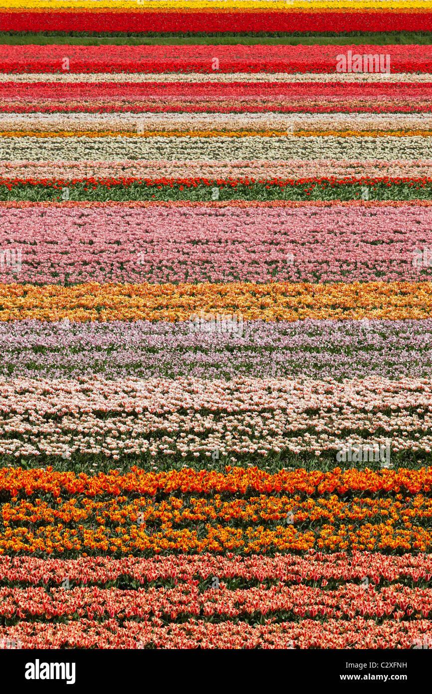 Dutch tulip fields in full bloom next to The Keukenhof Garden in Lisse, Holland, The Netherlands. Stock Photo