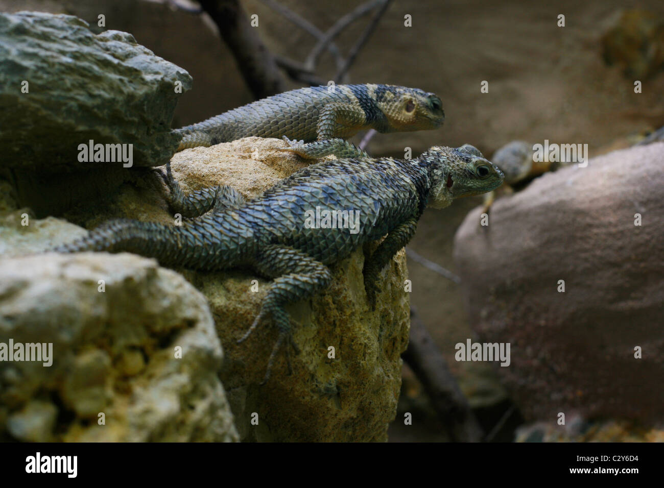 Blue Spiny Lizards Sceloporus Cyanogenys Cope - Stock Image