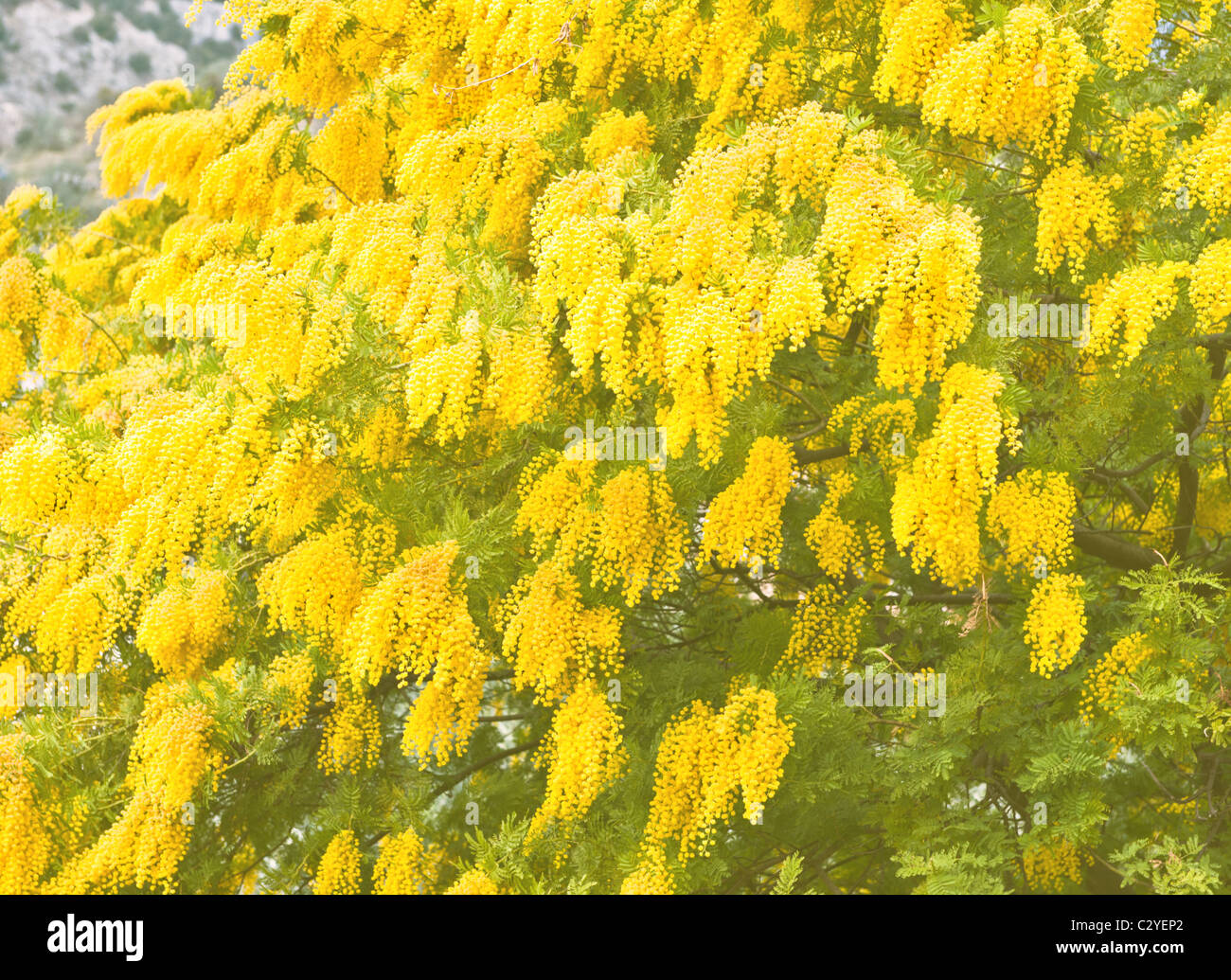 Yellow Flowers Mimosa Tree In Stock Photos Yellow Flowers Mimosa