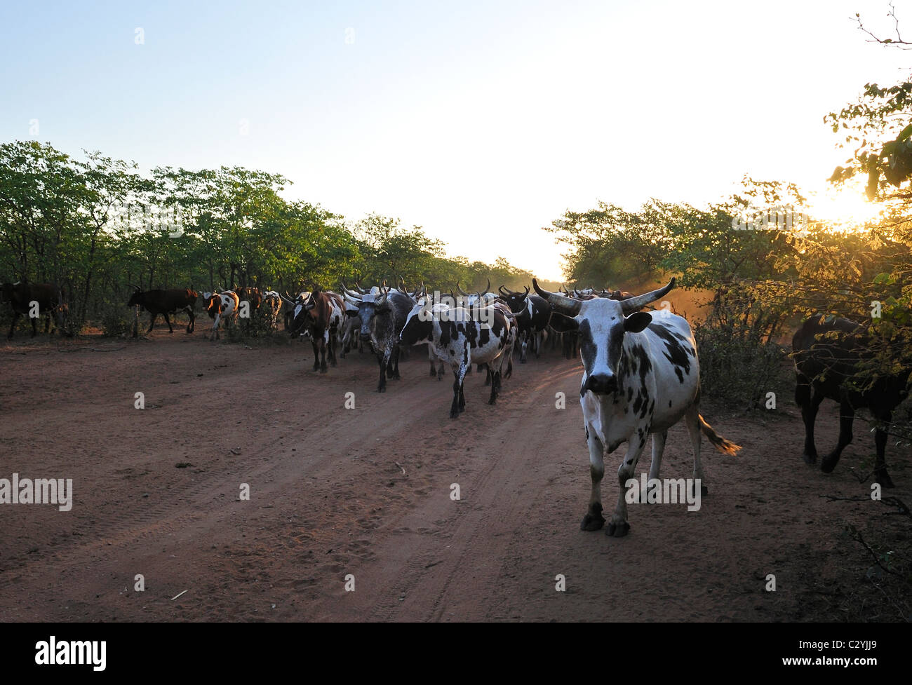 Nguni cattle on road to cattle kraal in Mavodze Village in Limpopo National Park, Mozambique - Stock Image