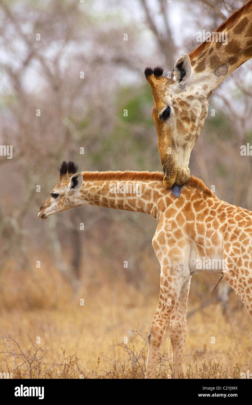A side view of a Giraffe licking its young, Kruger National Park, Mpumalanga Province, South Africa - Stock Image