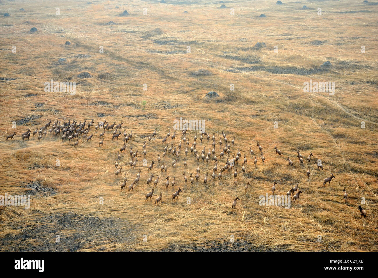 Herd of Tiang (Damaliscus tiang) in grassland close to seasonal flood areas of Sudd swamp, South Sudan - Stock Image