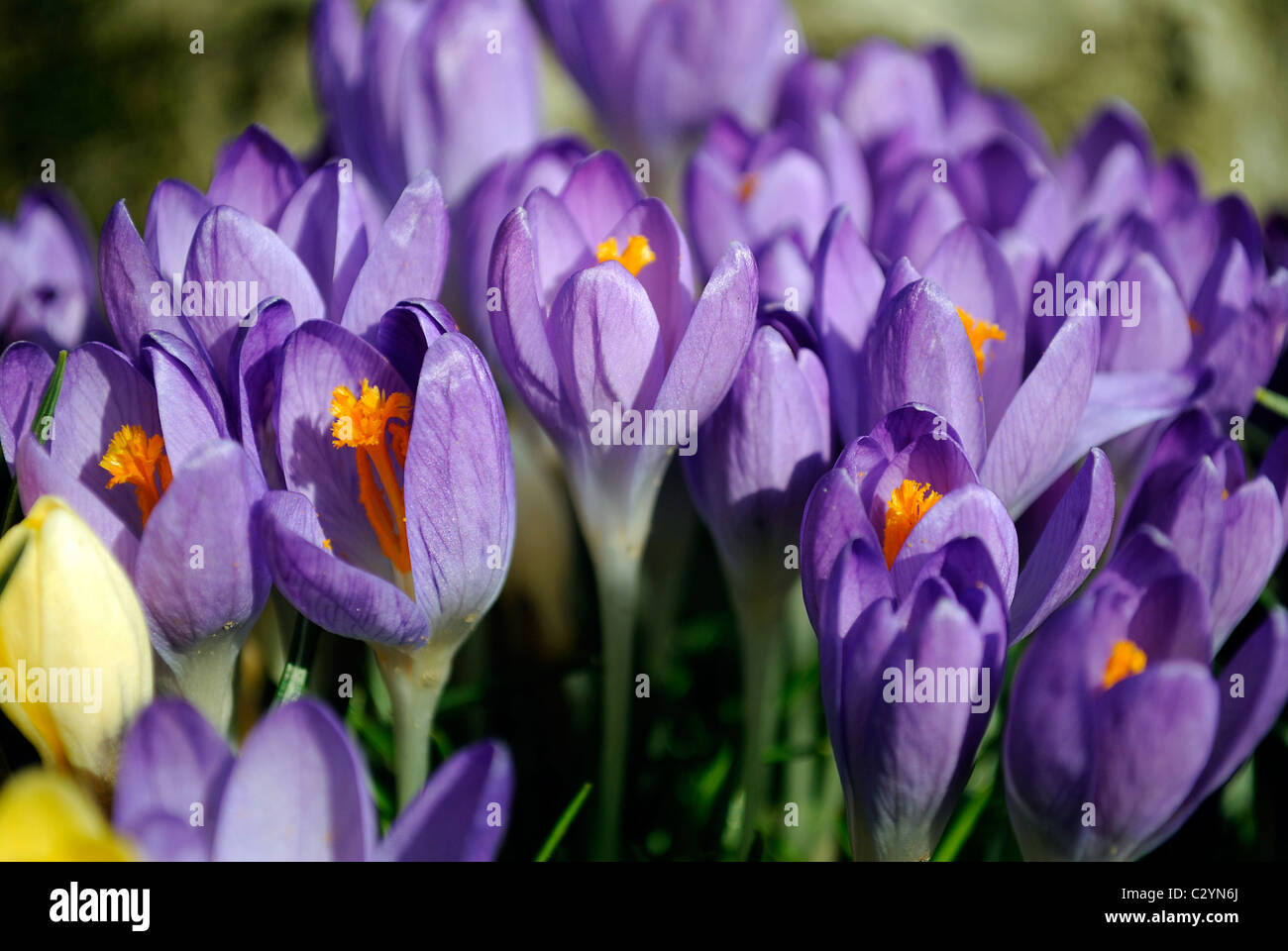 Close up of Crocuses in early spring. - Stock Image