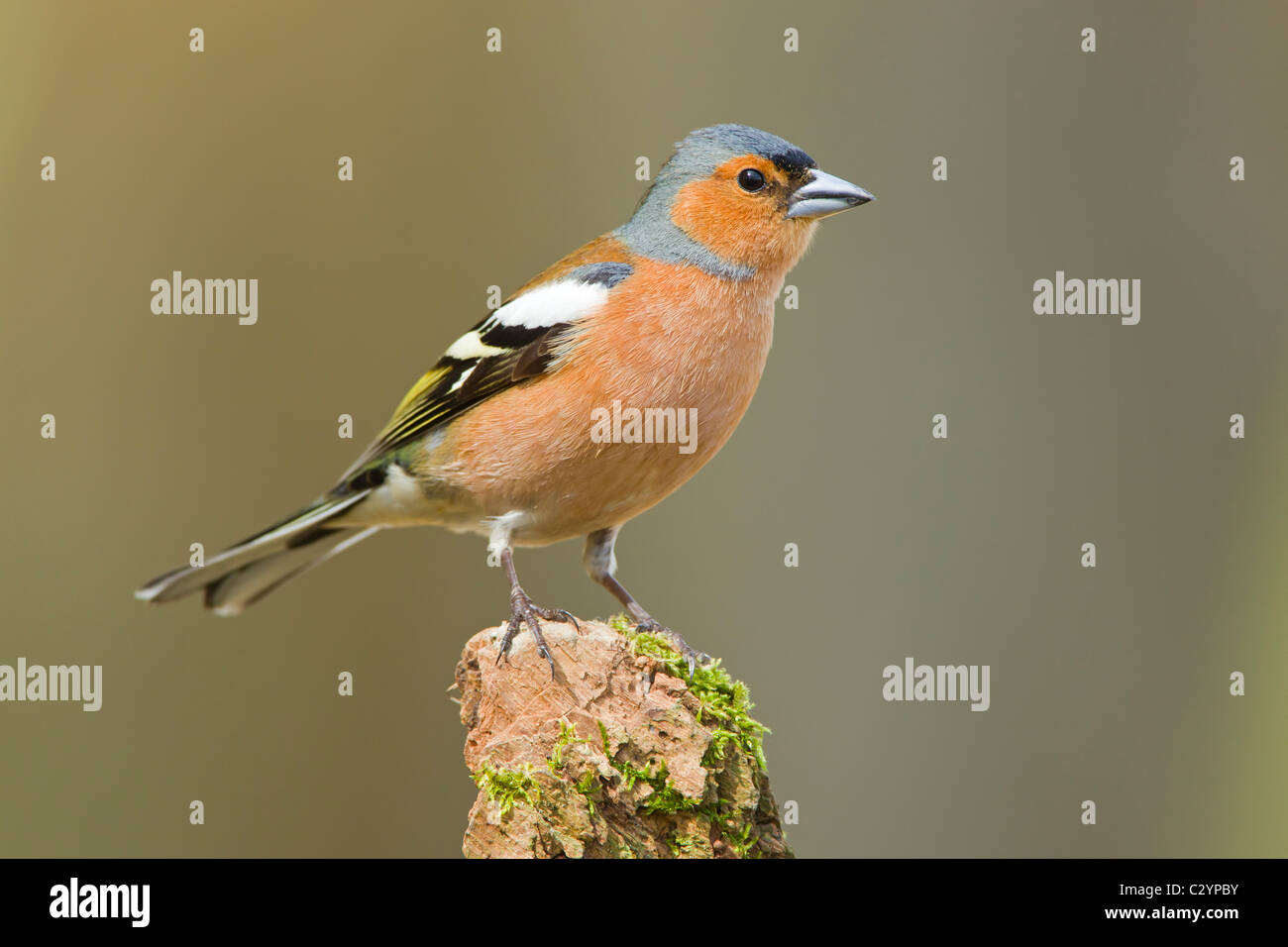Chaffinch male perched on a mossy stump. - Stock Image