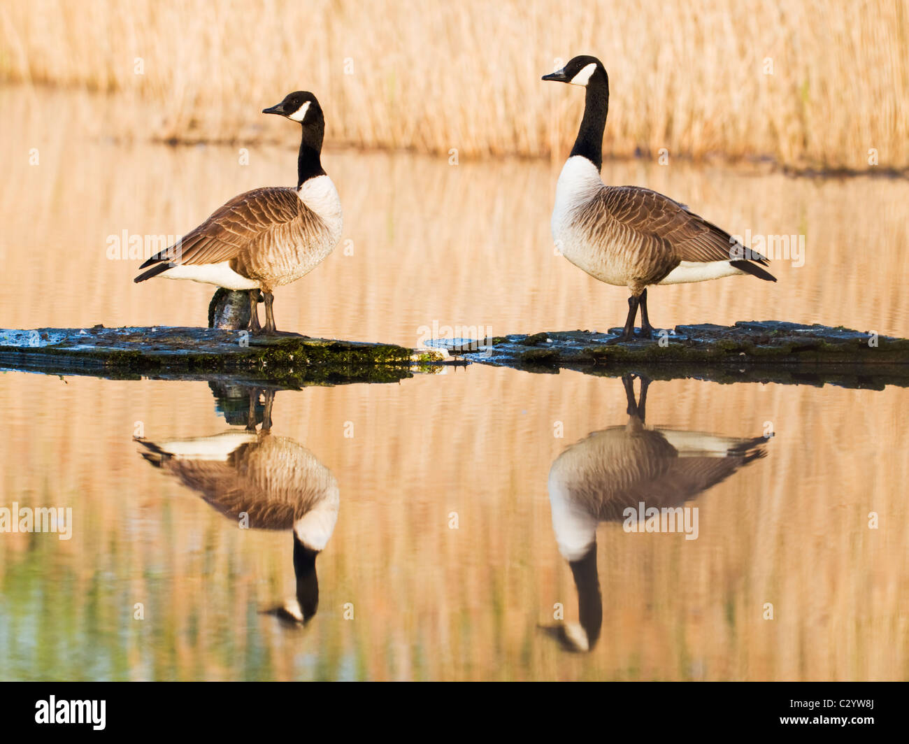 Canada geese casting their reflections onto calm water - Stock Image