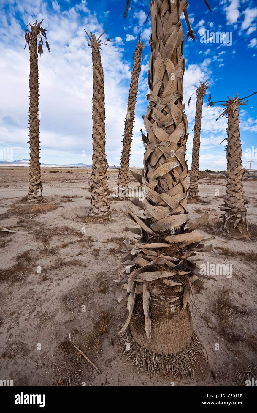 Dried and wilted, a grove of palm trees stand decimated by drought. - Stock Image