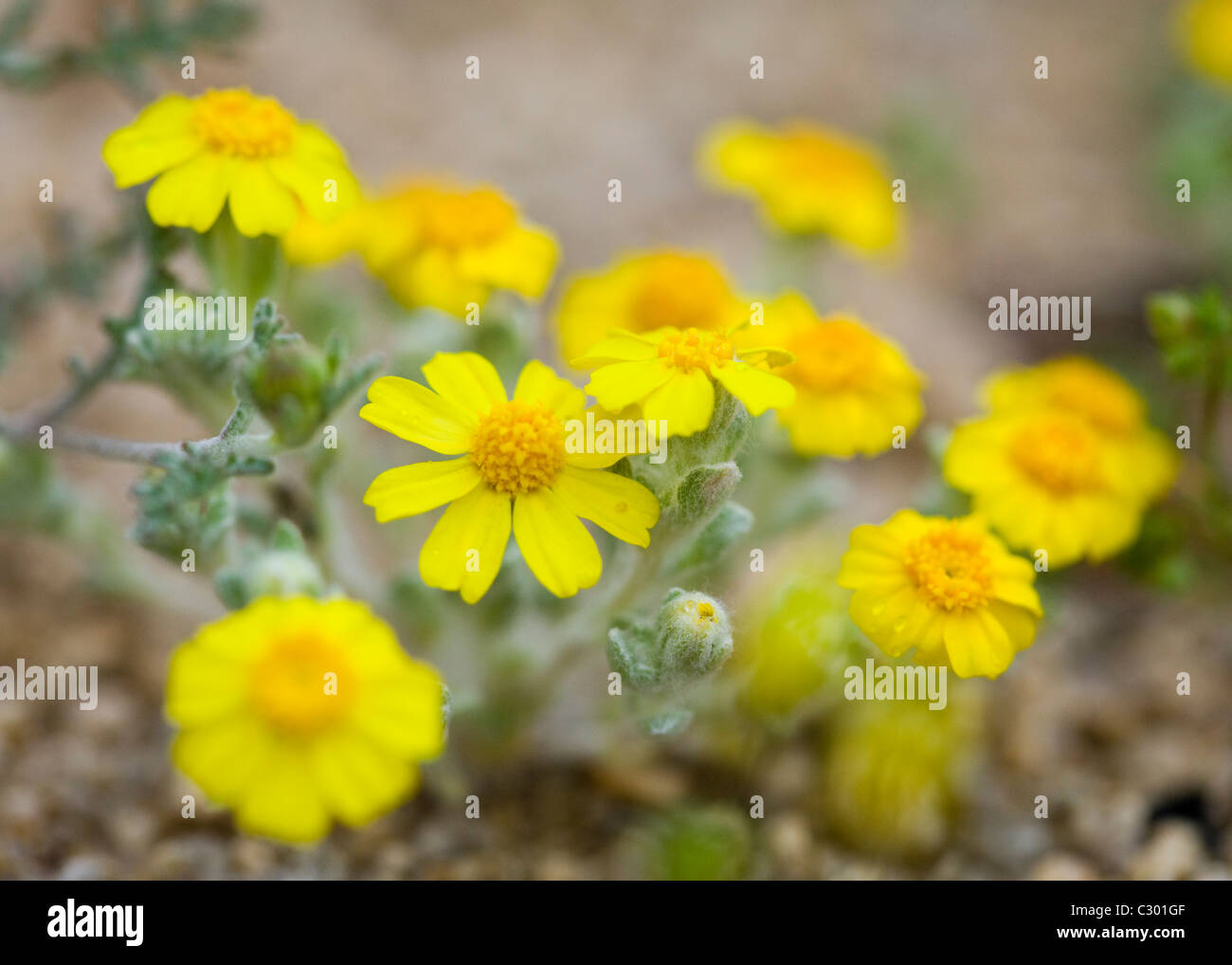 North American desert spring wildflowers California tickseed (Coreopsis californica) - Mojave desert, California - Stock Image