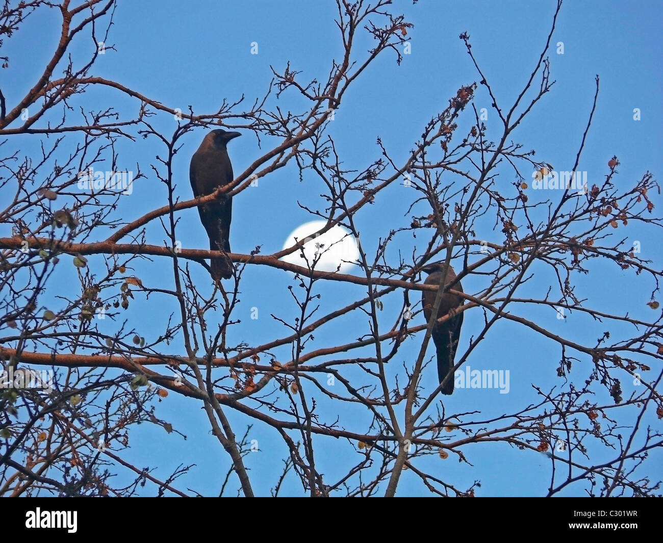 A house crow, Corvus Splendens are seating on a dry tree Stock Photo
