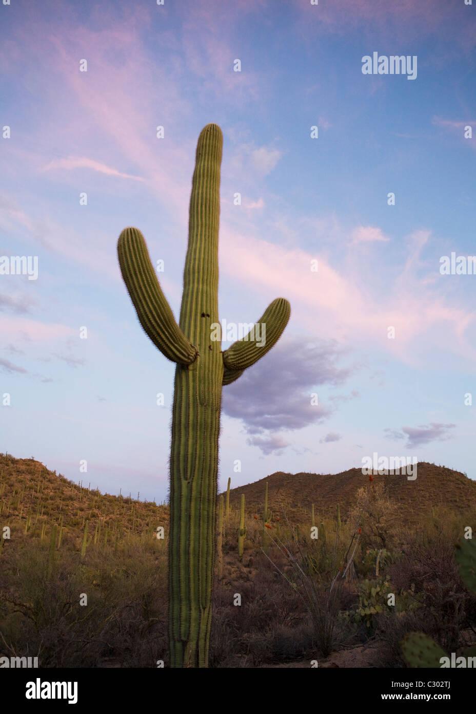 Saguaro cactus field - Saguaro National Park, Arizona USA - Stock Image