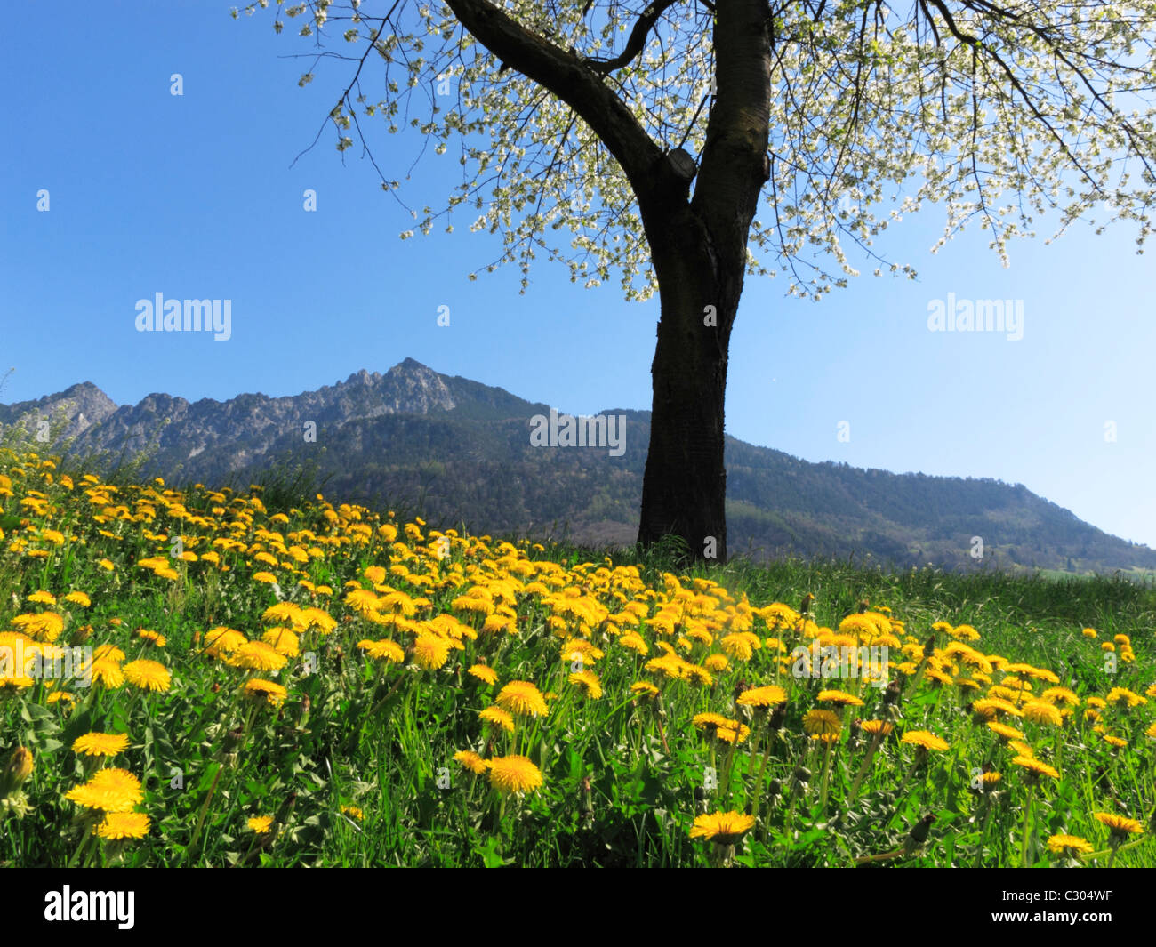 The Three Sisters mountain range framed by a sea of yellow flowers, Liechtenstein FL Stock Photo
