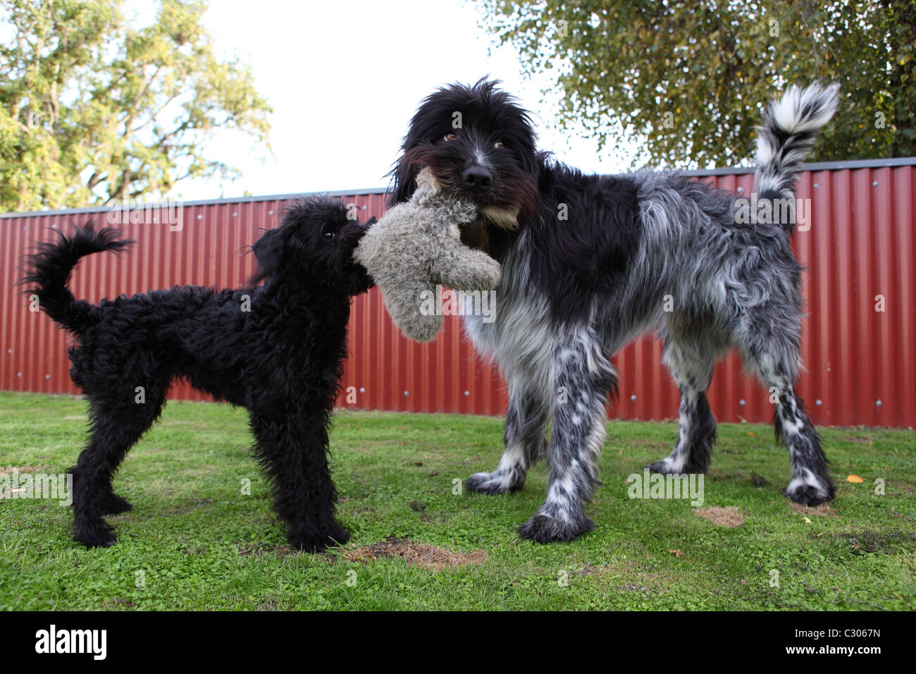 Different sized pet dogs playing with soft toy - Stock Image