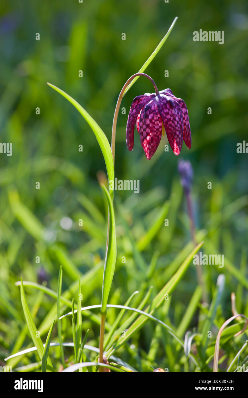 Snakeshead Fritillary Spring And Summer Perennial Flowers In A