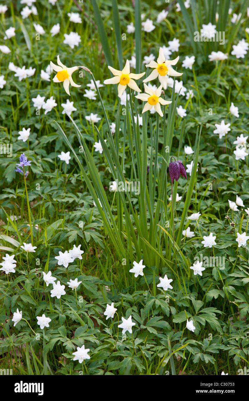 Spring And Summer Perennial Flowers Snakeshead Fritillary Stock
