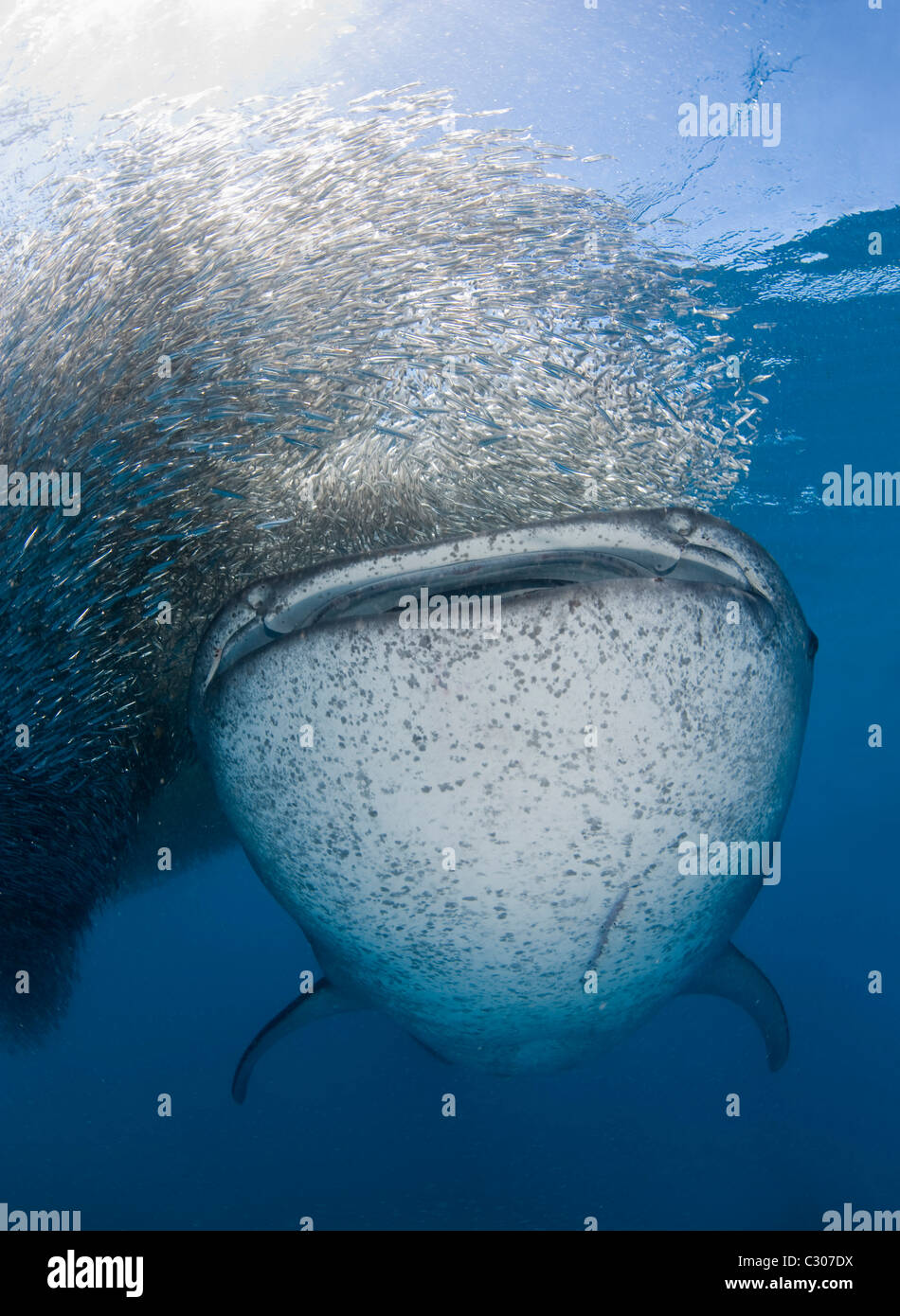 Whale shark (Rhincodon typus) feeding on baitball of silversides - Stock Image