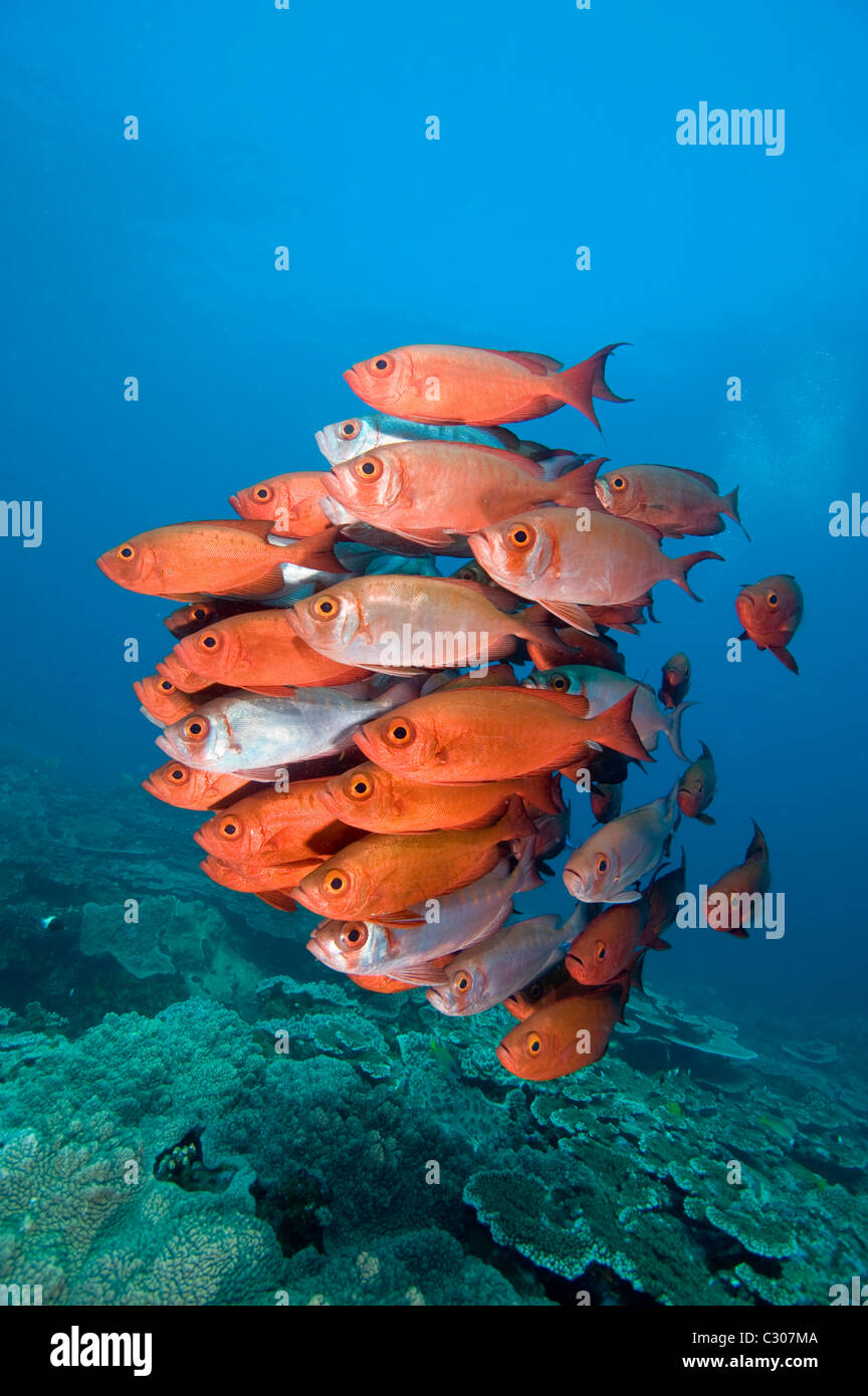 Schooling  big-eye or glass-eye snapper, Heteropriacanthus cruentatus, Sodwana Bay, South Africa, Indian Ocean - Stock Image