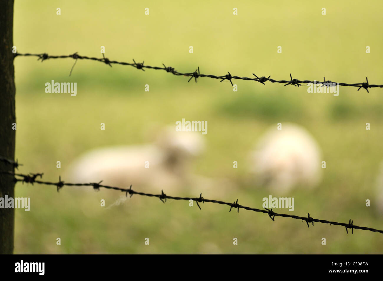 Sheep behind a barbed wire fence. - Stock Image