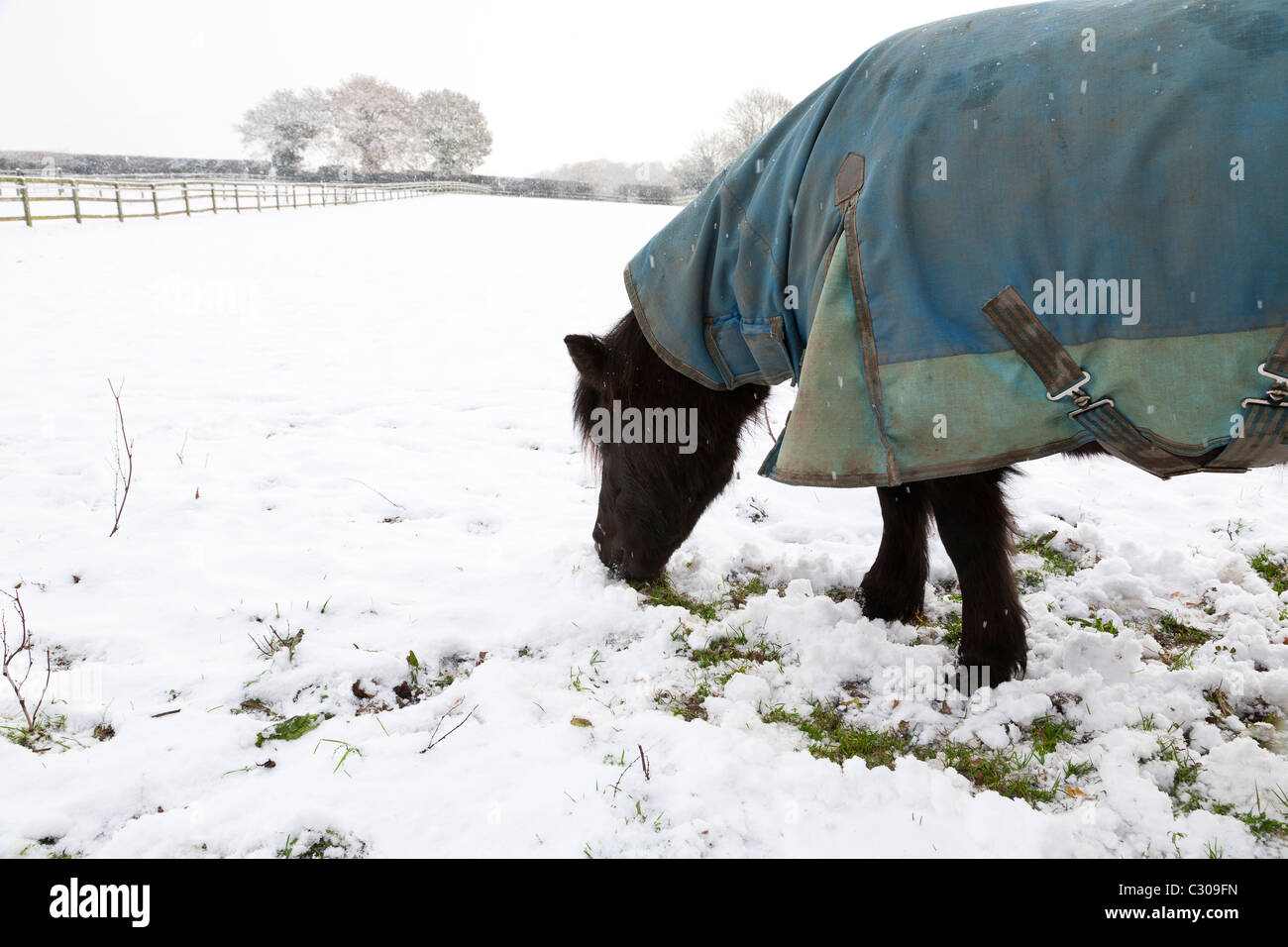 A winter scene of a black pony in a blue turnout rug looking for grass in a snow covered field - Stock Image