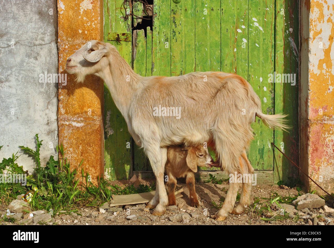 Young goat suckling mother's milk in Immouzzer, Morocco - Stock Image