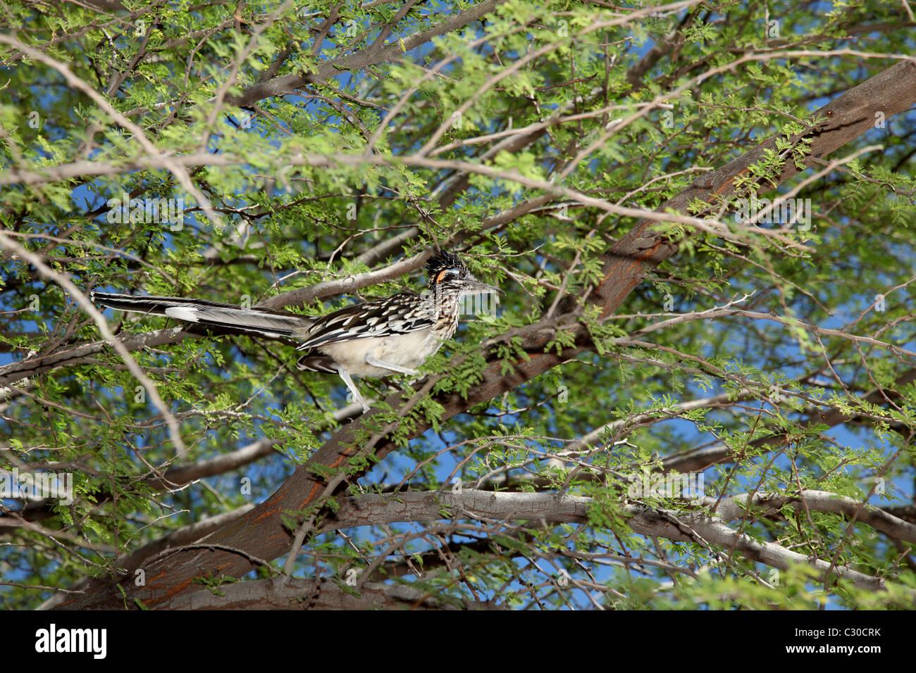 Roadrunner bird in a mesquite tree - Stock Image