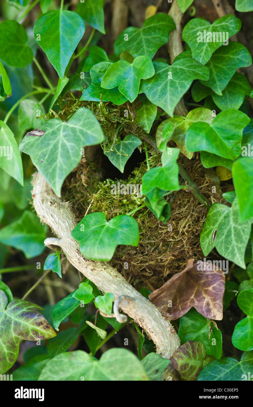 Wren's nest nestled secretly hidden among ivy leaves on a wall in The Cotswolds, Oxfordshire, England, UK - Stock Image