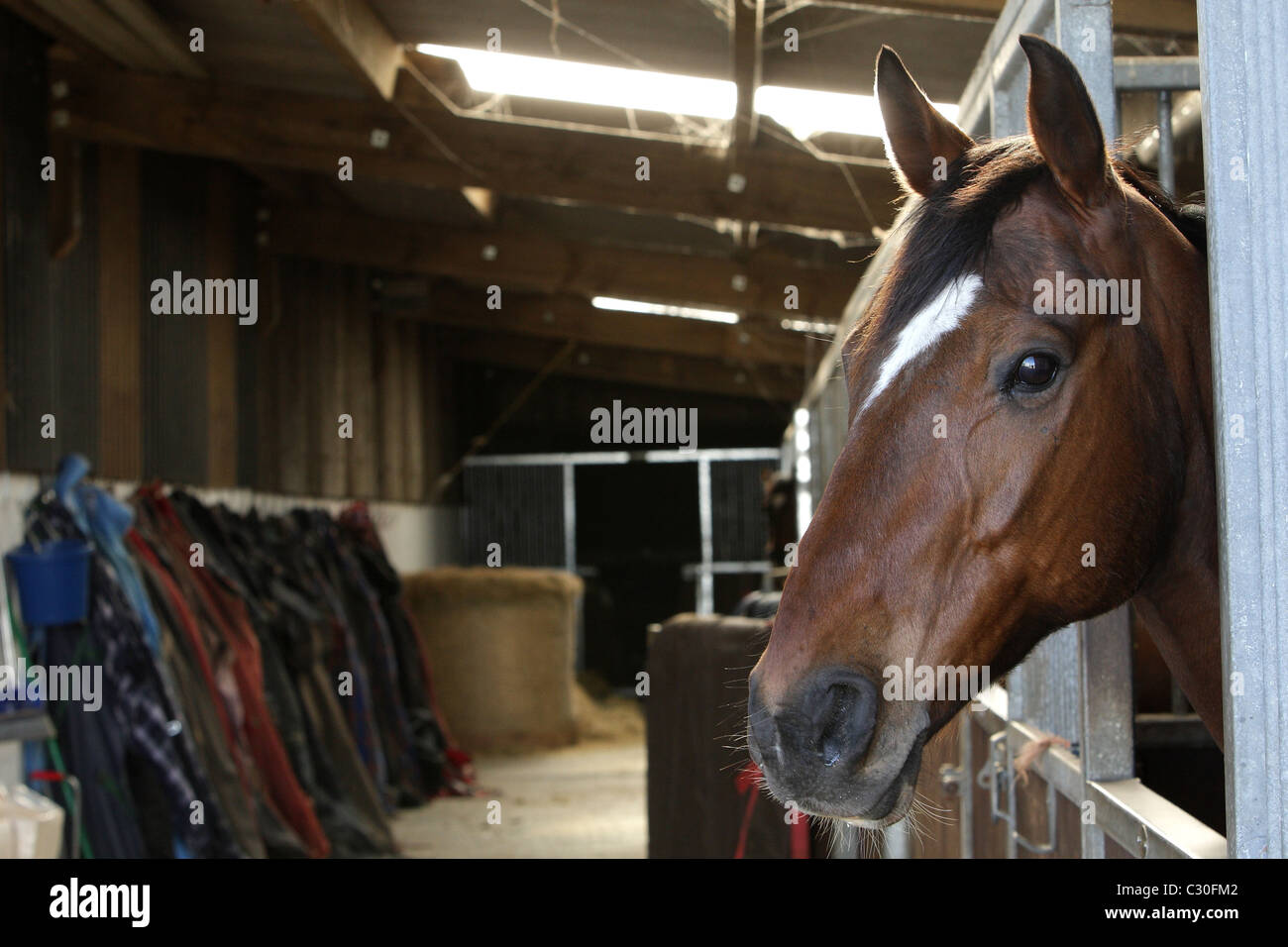 Race Horse in stable at Malzard Riding Stable, Jersey, Channel Islands - Stock Image
