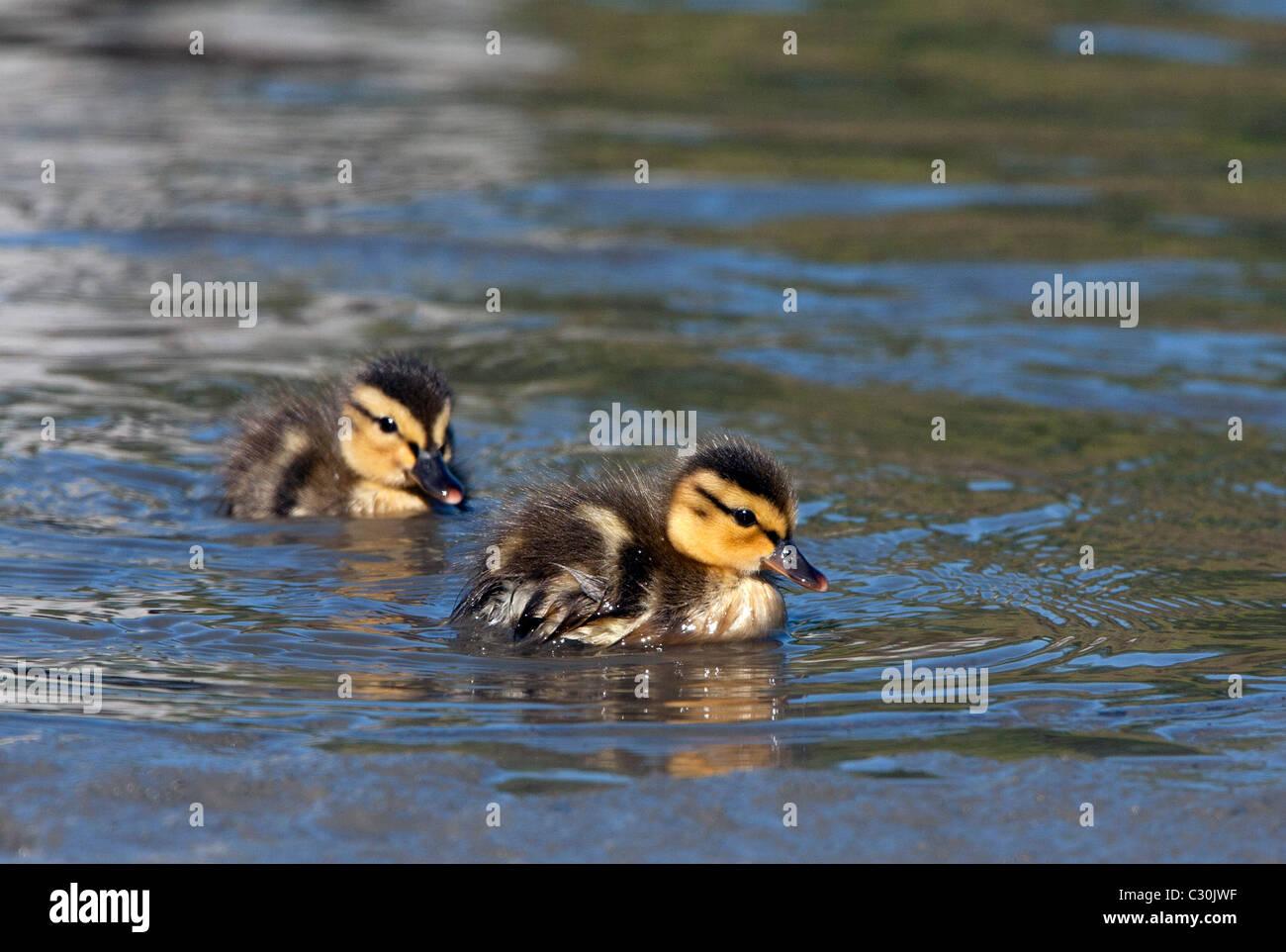 Mallard Ducklings Swimming - Stock Image