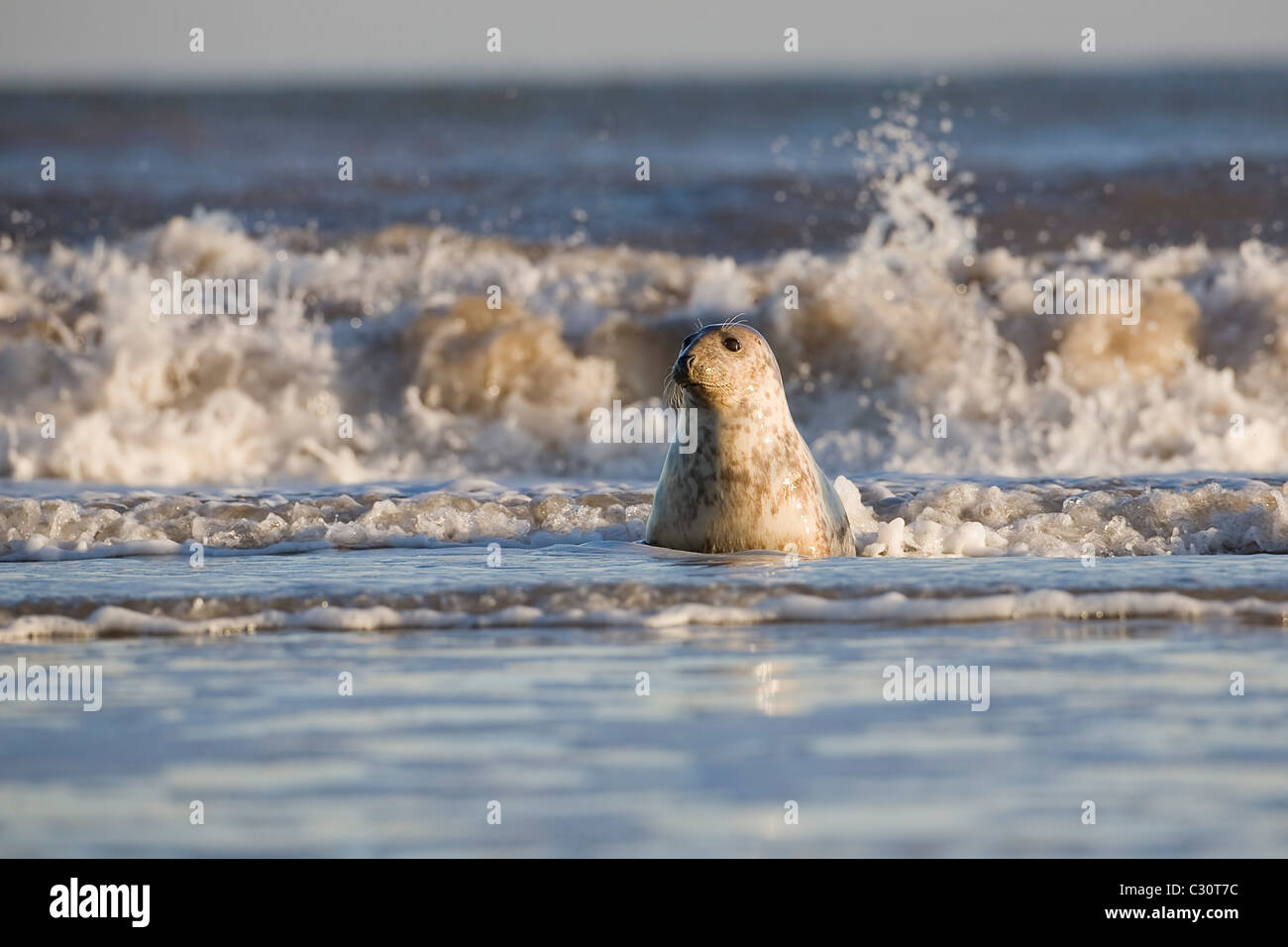 Atlantic Grey Gray Seal Halichoerus grypus playing at the waters edge during winter on the Lincolnshire coast Stock Photo