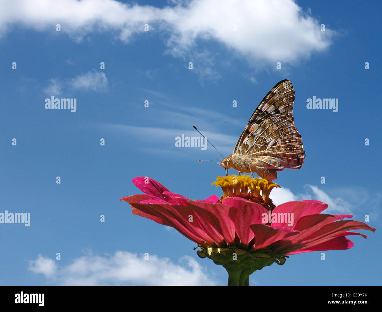 butterfly (Painted Lady) on flower  over blue sky Stock Photo