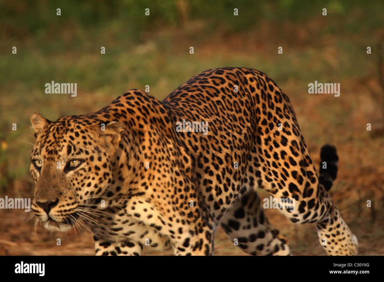 Leopard on the hunt for spotted deer, Yala (Ruhuna) National Park, Sri Lanka - Stock Image