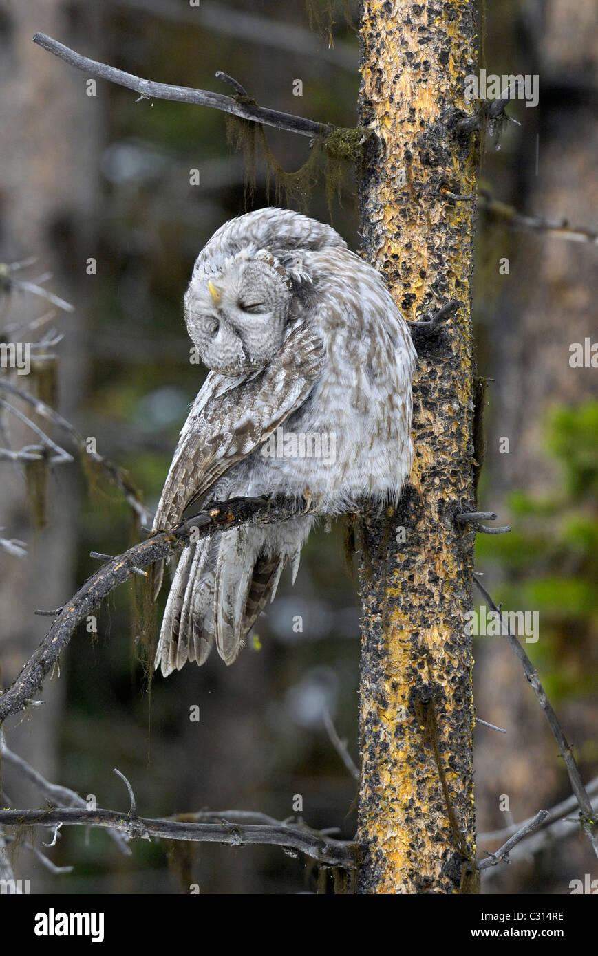 Great Gray Owl Head Upside Down - Stock Image