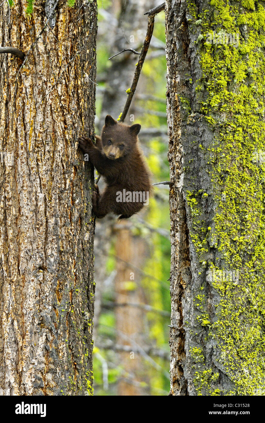 Big Trees Little Bear - Stock Image