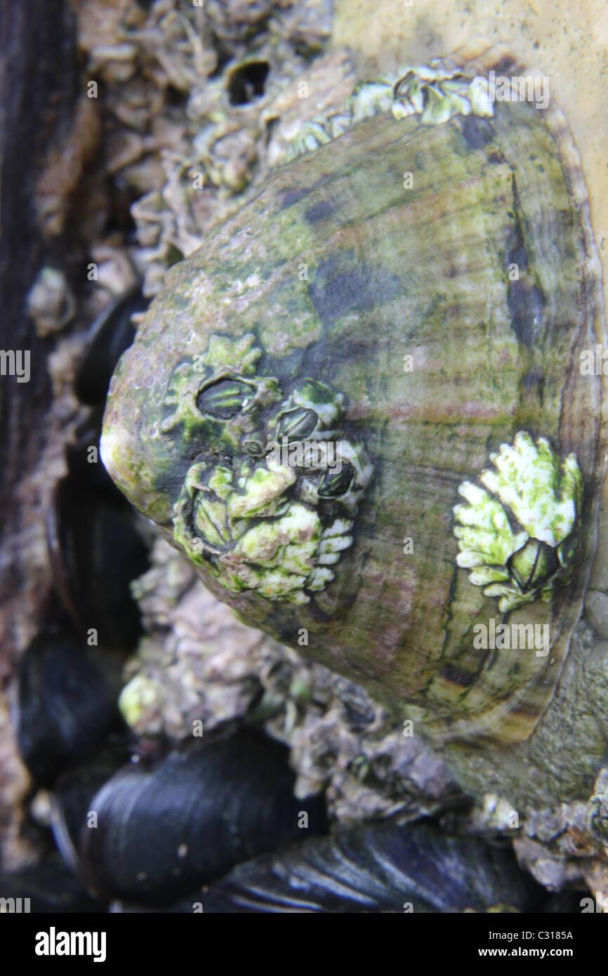 Common Limpet, Patella vulgata Stock Photo