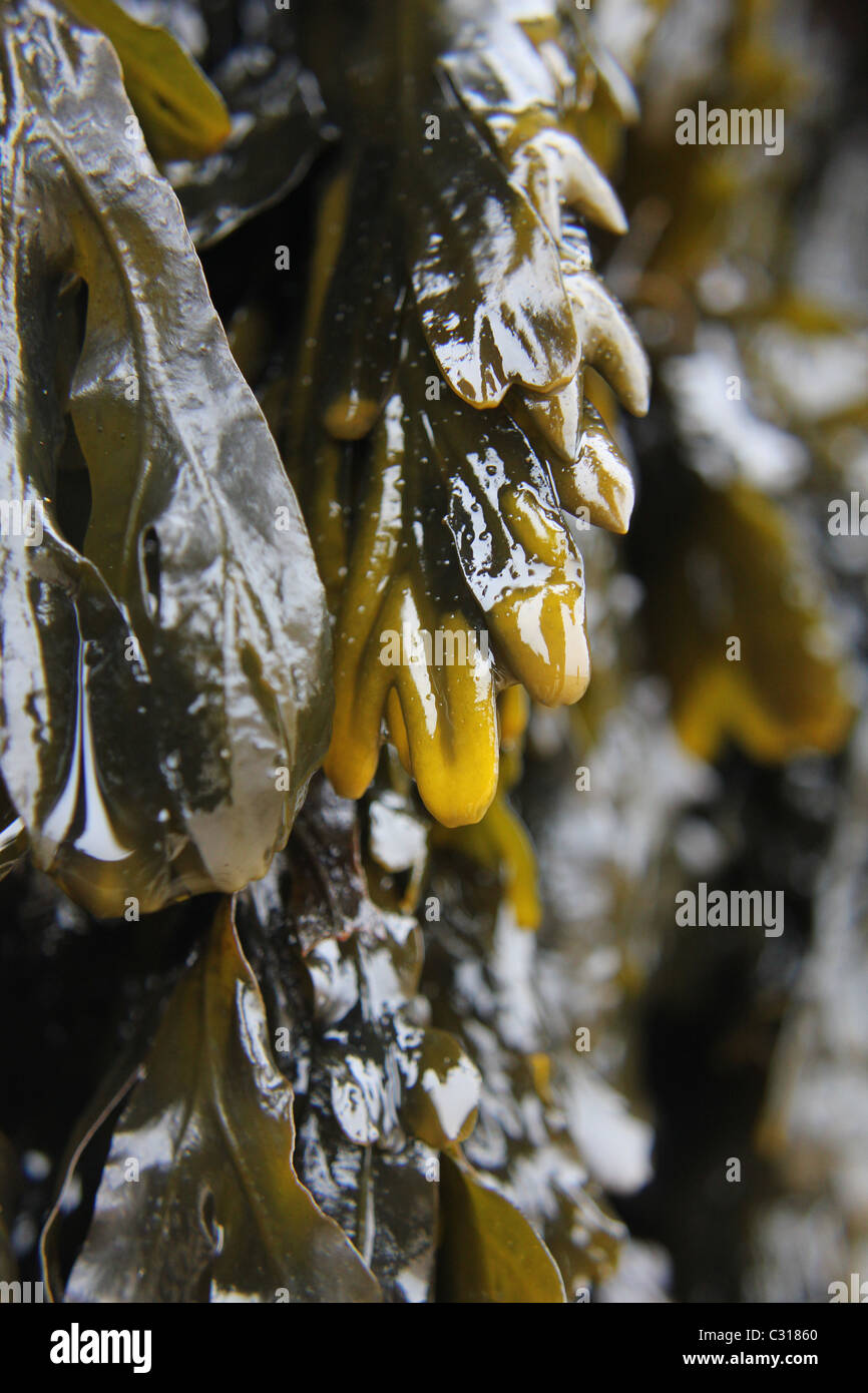 Sea weed of the upper shore Spiral Wrack, Fucus Spiralis Stock Photo
