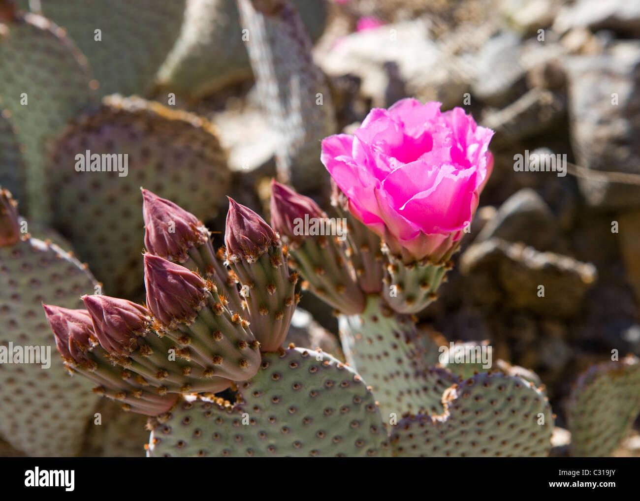 Beavertail cactus (Opuntia basilaris) in bloom - Mojave desert , California USA - Stock Image