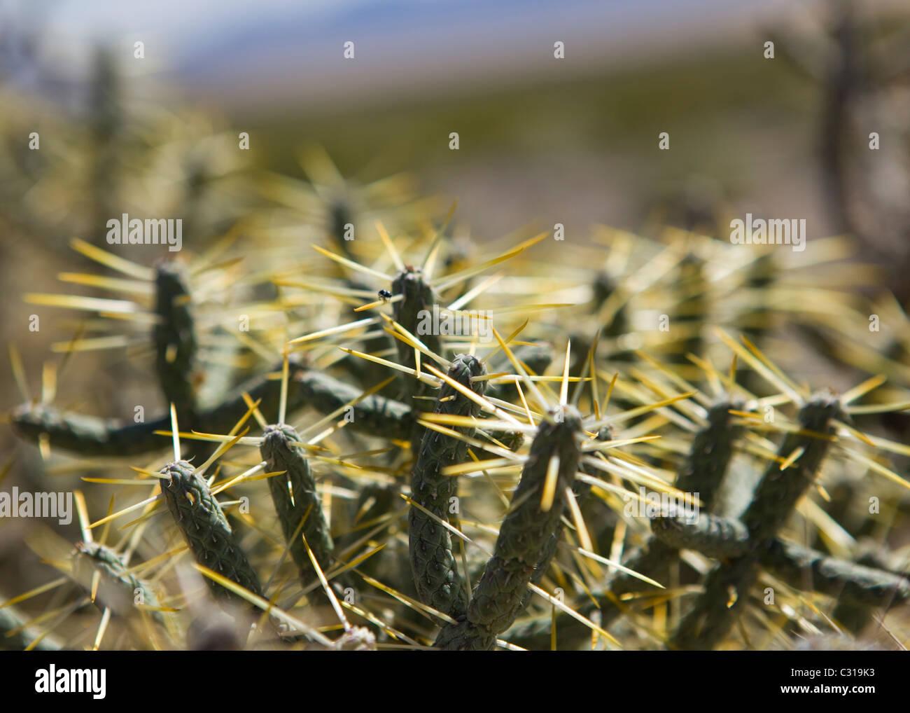 Pencil Cholla Cactus (Cylindropuntia ramosissima) - Mojave desert, California USA - Stock Image
